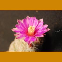 Echinocereus adustus SB 72, Cosihuiriachi, Chih. -12C