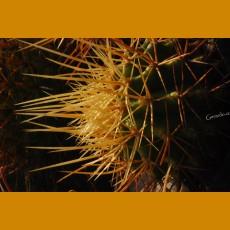 *Ferocactus rectispinus KPP 1761 Agua Verde, BC  (3-4cm PLANT)