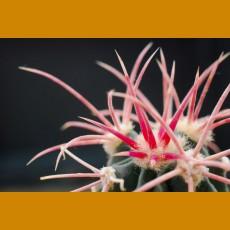 Echinacactus xerantiphoides KAL, Midview, AZ (10 SEEDS)