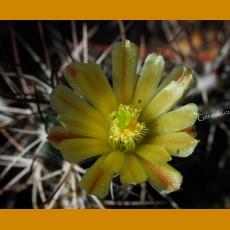 Echinocereus viridiflorus subsp. davisii GCG 10691 S of Marathon, Brewster Co.,TX, 1250m (10 SEEDS)