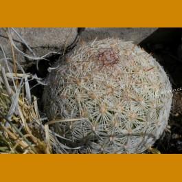 Coryphantha vivipara v. bisbeana GCG 10802 Guadalupe Canyon, E of Douglas, Cochise Co., Az.