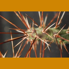 Opuntia polyacantha f. utahensis Moab, Ut. 1540m -25C (UNROOTED PAD)