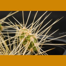 Opuntia erinacea var. columbiana Yakima river, Wash. -25C (UNROOTED PAD)
