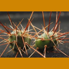Opuntia x columbiana dark sp. Keremeos, Br. Columbia, Canada -25C (UNROOTED PAD)