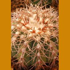 Gymnocalycium spegazzinii VS 109 Payogasta, 2500m, Salta, Arg. (10 SEEDS)