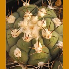Gymnocalycium zegarrae VS 438 Tomina Chico, 1952m, Chuquisaca, Bolivia (10 SEEDS)