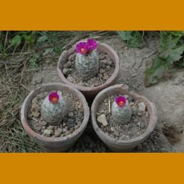 Escobaria grata (hesteri ssp.grata), VM 545, Mina El Tule, N of Melchor Muzqiz,Coah. (100 SEEDS)