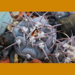 Gymnocalycium glaucum (mucidum sensu Metzing) SELECTION VS 048 San Blas, 1050m, La Rioja, Arg. (10 SEEDS)