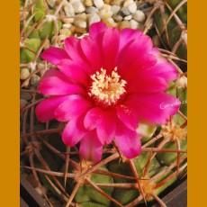 *Gymnocalycium carminanthum STO Los Angeles, Catamarca, Arg. (1,5-2cm PLANT)