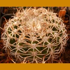 Gymnocalycium ferocior SELECTION GN 395/1307 Villa del Soto, La Rioja, Arg. (10 SEEDS)