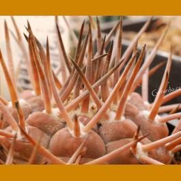 "Gymnocalycium bodenbenderianum ""piltziorum"" SELECTION STO 178 Pinchas, 1450m, La Rioja, Arg. (10 SEEDS)"