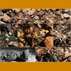 *Echinocactus horizonthalonius  (list of 40+ locality forms via email, PLANTS)