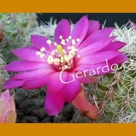Sulcorebutia hertusii f. short pectinate spines SELECTION VS 337 Zudańez, 2 km J, 2500m, Chuquisaca, Bolivia