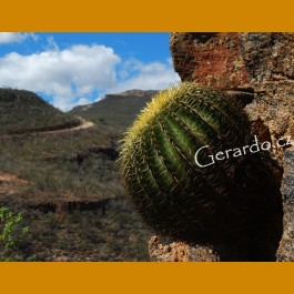 Echinocactus grusonii zacatecasensis GCG 11012 S of San Juan de Capistrano, Zac.
