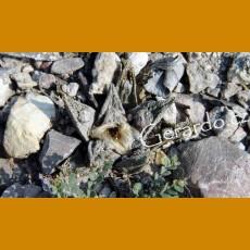 Ariocarpus bravoanus GCG 12684 MO El Nunez, SLP (10 SEEDS)