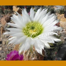 Echinocereus reichenbachii cv. Jan Vanousek white flower with green center F2 (10-30%)  -21C (10 SEEDS)