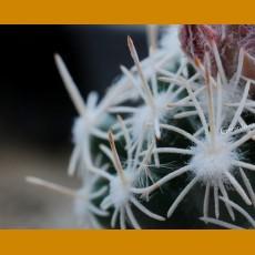 *Escobaria (Neobesseya) abdita ssp.tenuispina GCG Laguna de Meyran, Coah. (GRAFTED PLANT 1-2cm)