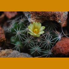 *Escobaria (Neobesseya) cubensis GCG 9899 Holguín (GRAFTED 1,5-2cm)