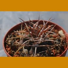 "Gymnocalycium castellanosii ""rigidum"" SELECTION VS 824 Las Andres, 436m, La Rioja, Arg. (10 SEEDS)"