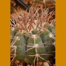 "Gymnocalycium castellanosii ""bozsingianum"" SELECTION VS 019 Villa Chepes,  850m, La Rioja, Arg. (10 SEEDS)"