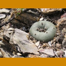 Lophophora diffusa, VM 205, km106, Peňamiller,Qro. (10 SEEDS)