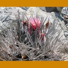 Pyrrhocactus confinis MKR 820 Baranquillas, Chile