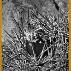 Pyrrhocactus crispus dark MKR 822 Combarbala, Chile