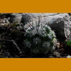 Neolloydia conoidea f.MO Las Mariposas, La Rinconada,NL (10 SEEDS)