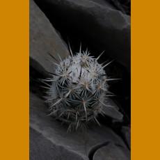 Neolloydia conoidea ssp.elongata n.n. Sierra la Gloria, E of Castanos,Coah. (10 SEEDS)