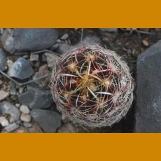 """Thelocactus bicolor var.""""castanos""""  Sierra la Gloria, E of Castanos,Coah. (10 SEEDS)"""