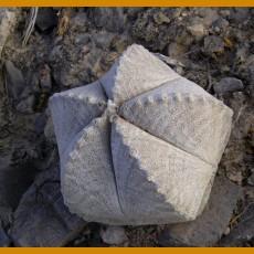 Astrophytum coahuilense RS 740 Cerro Bola, Coah. (10 SEEDS)