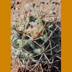 Coryphantha poselgeriana f.Chichimequillas,Zac.   (10 SEEDS)