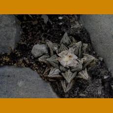 Ariocarpus fissuratus hintonii PP 352 El Herrero, Matehuala, SLP (10 SEEDS)