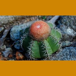 Melocactus matanzanus GCG 9909 Tres Ceibas, NW of Matanzas, Kuba