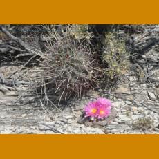 Ariocarpus fissuratus lloydii PP 803 Parras de la Fuente, Coah. (10 SEEDS)
