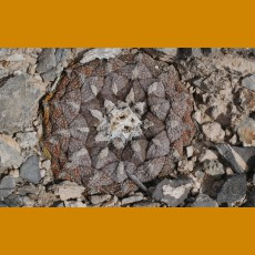 Ariocarpus fissuratus lloydii PP 1085 E of Viesca, Coah. (10 SEEDS)