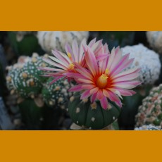 Astrophytum asterias cv.red flowers (30-50%)  (10 SEEDS)