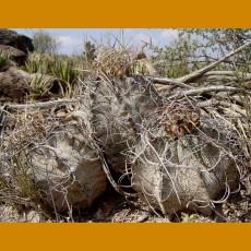 Astrophytum capricorne var.crassispinoides aff. La Reforma, Coah. (10 SEEDS)