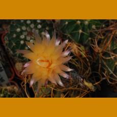 Astrophytum capricorne ssp.sanjuanense SELECTION  KŠ 1016  San Juan de Boquillas, Coah.  (10 SEEDS)