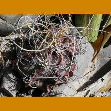 Astrophytum capricorne ssp.sanjuanense - aureum SELECTION  KŠ  Sierra de la Paila, Coah.  (10 SEEDS)