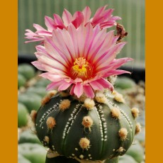 Astrophytum asterias f.red flower (100 SEEDS)