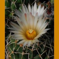 Coryphantha maiz-tablasensis KŠ 915 Las Tablas, SLP  (10 SEEDS)