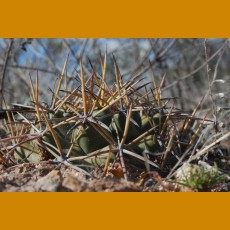 Coryphantha macromeris ssp.macromeris f.mostly south Chichimequillas,Zac. (10 SEEDS)
