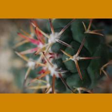 Coryphantha poselgeriana ssp.nova KŠ  Yoliatl, SLP  (10 SEEDS)  rare