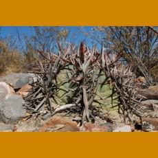 Echinocactus horizonthalonius f.San Salvador, Coah. SELECTION (10 SEEDS)