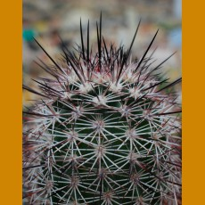 Echinocereus dasyacanthus v. rectispinus, VM 460, Buenos Aires,N of Ricardo Flores Magon,Chih. (10 SEEDS)