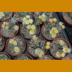 Turbinicarpus flaviflorus TCG Santa Rita, SLP TL (10 SEEDS)