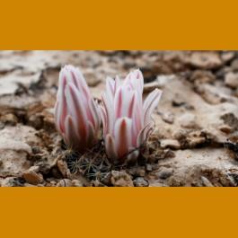 Mammillaria coahuilensis VM, N of Vanegas, SLP