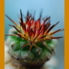 Strombocactus corregidorae, GC 10008 Maconi, Qro. (100 SEEDS)